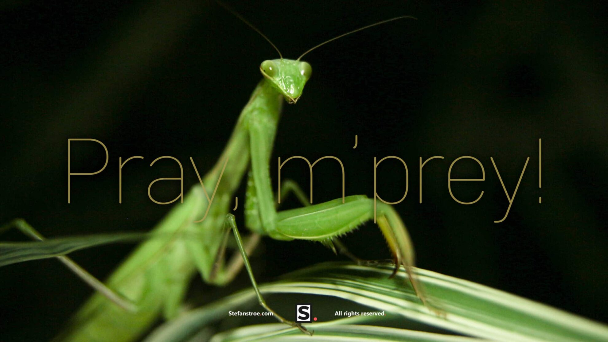 praying-mantis-portrait