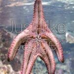 Jagger Starfish